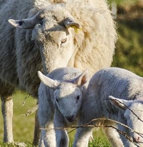 brebis-agneaux