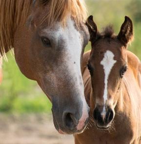 poulain et sa mère